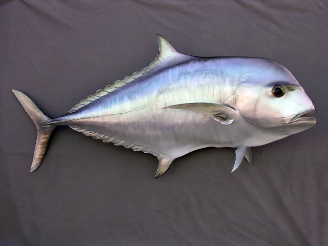 African Pompano Mount