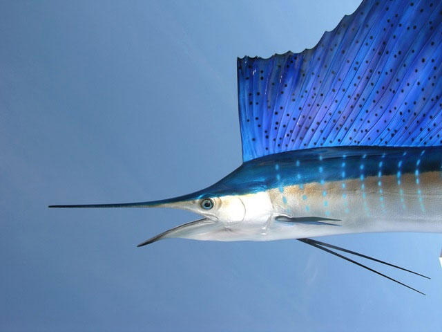 Atlantic Sailfish Taxidermy