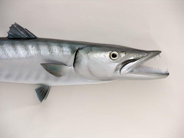 Barracuda Taxidermy