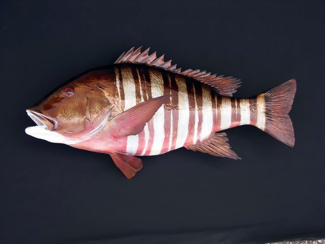 Barred Pargo Taxidermy