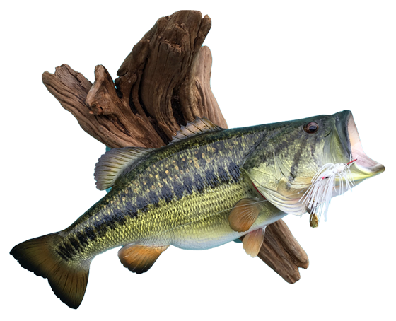Bass Mount on Driftwood with Lure