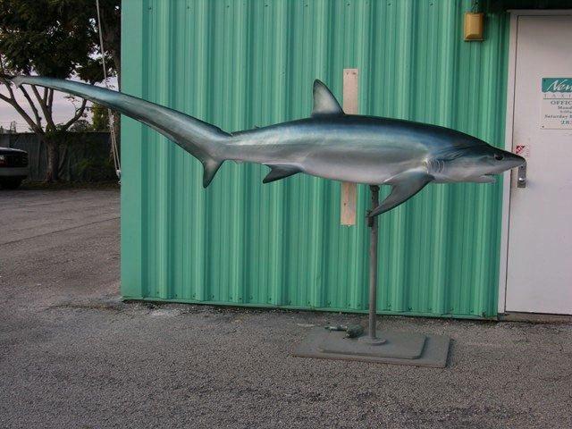 Bigeye Thresher Shark Mount