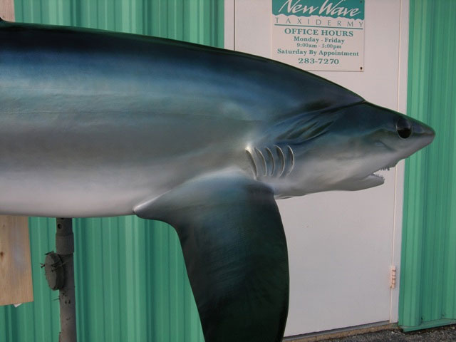 Bigeye Thresher Shark Taxidermy
