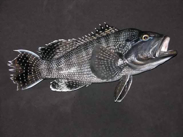 Black Sea Bass Mounts
