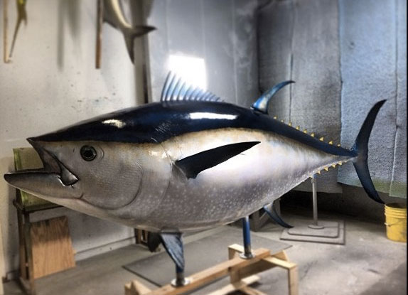Bluefin Tuna Taxidermy