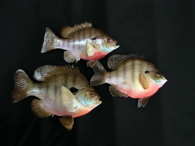 Bluegill Sunfish Mounts