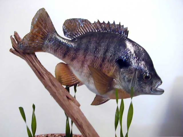 Bluegill Sunfish Mount