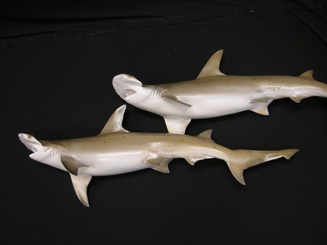 Bonnethead Shark Mounts
