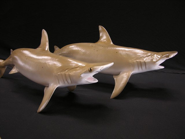 Bonnethead Shark Taxidermy