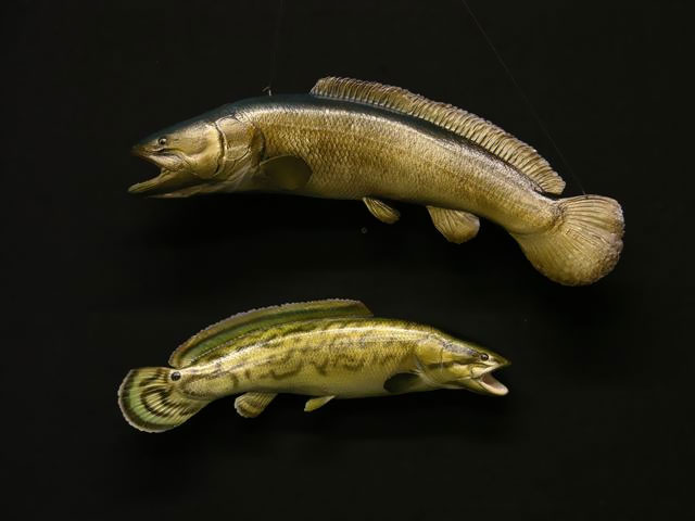 Bowfin Mounts