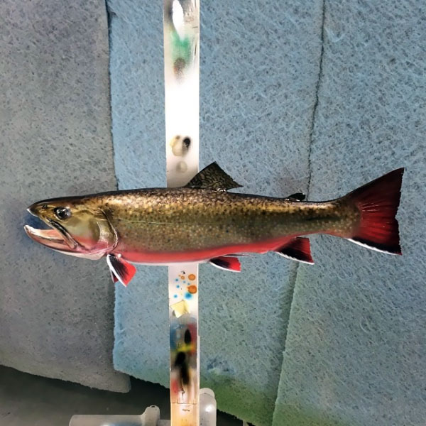 Brook Trout Mount