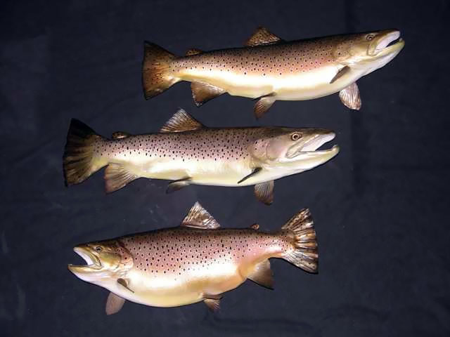Brown Trout Taxidermy