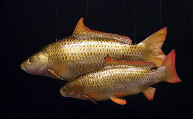 Carp Taxidermy