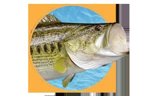 Freshwater Fish Taxidermy