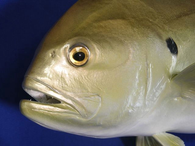 Crevalle Jack Taxidermy