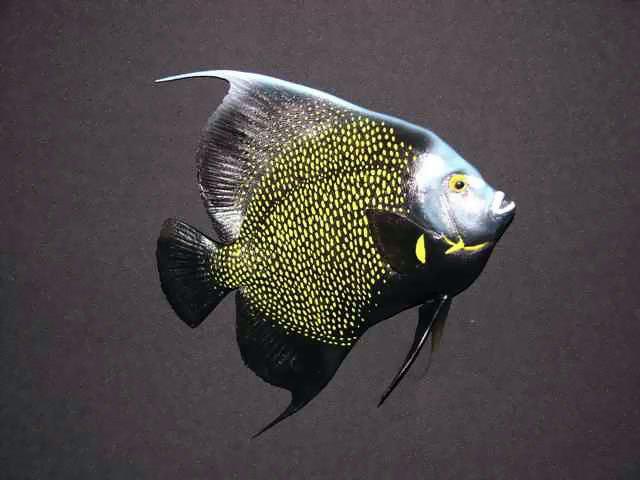 French Angelfish Mounts