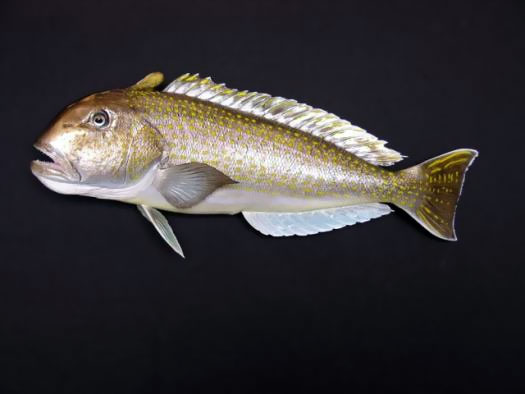 Golden Tilefish Taxidermy