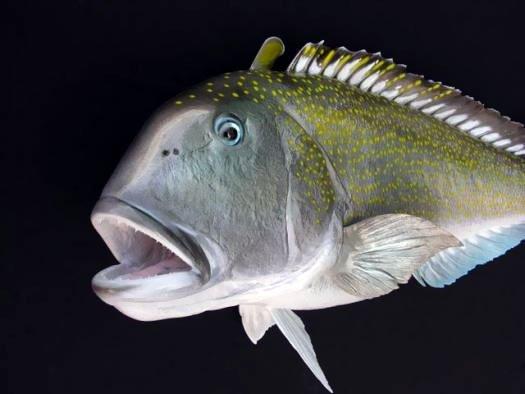 Golden Tilefish Mount