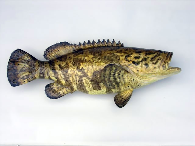 Goliath Grouper Mounts