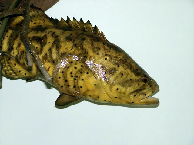 Goliath Grouper Taxidermy