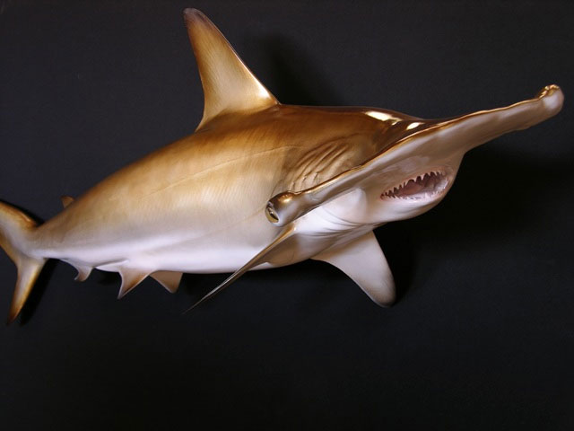 Hammerhead Shark Mounts