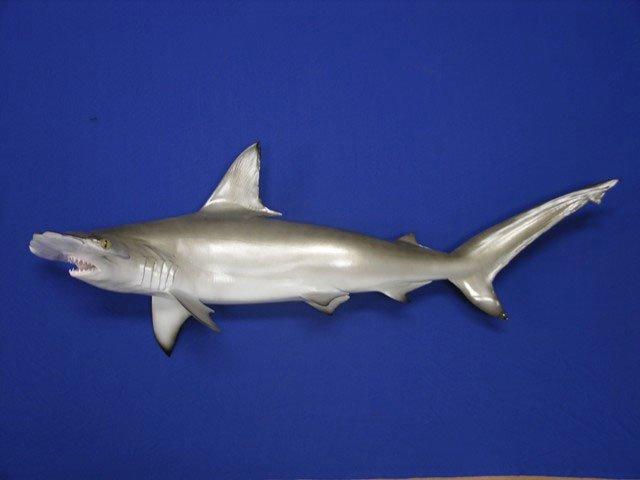 Hammerhead Shark Taxidermy