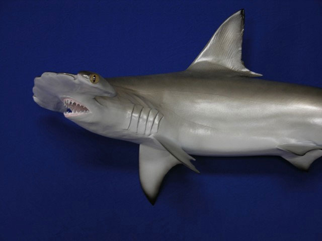 Hammerhead Shark Replica