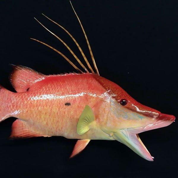Hogfish Taxidermy