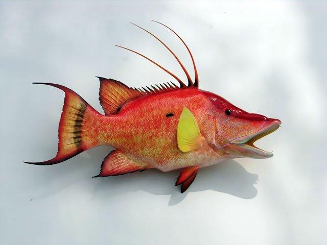 Hogfish Mount