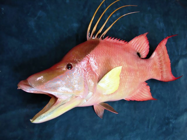 Hogfish Replica