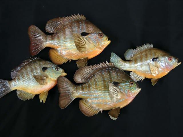 Longear Sunfish Mounts