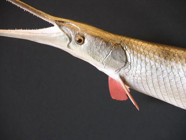 Longnose Gar Taxidermy