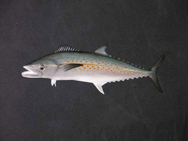 Mackeral Mounts