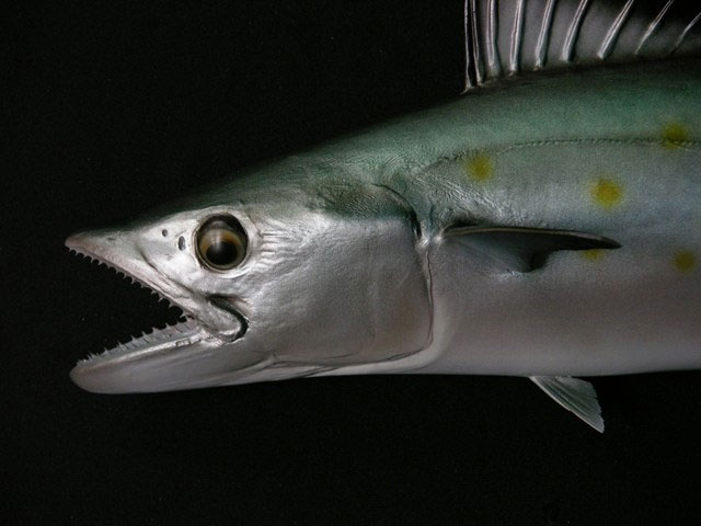 Mackeral Replica
