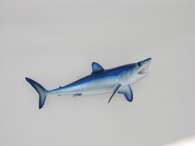 Mako Shark Replicas