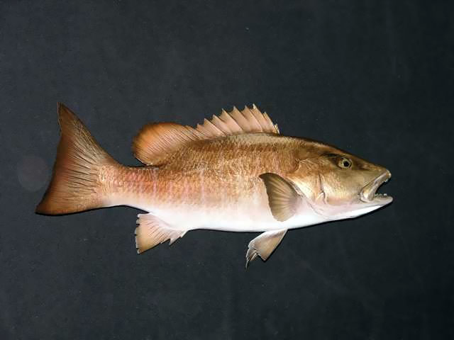 Mangrove Snapper Mounts
