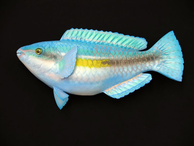 Princess Parrotfish Mounts