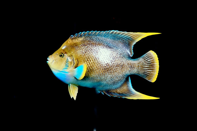 Queen Angelfish Mounts