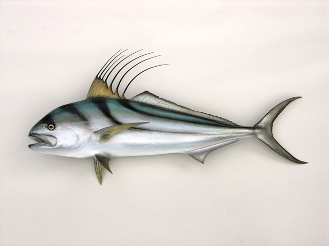 Roosterfish Taxidermy