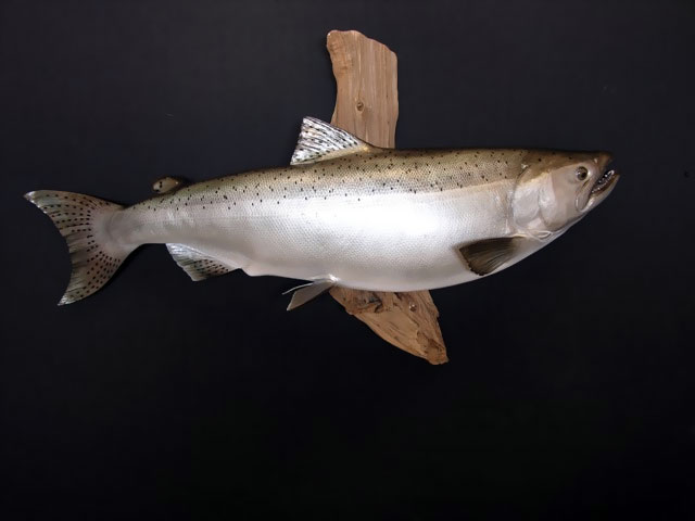 Salmon Taxidermy