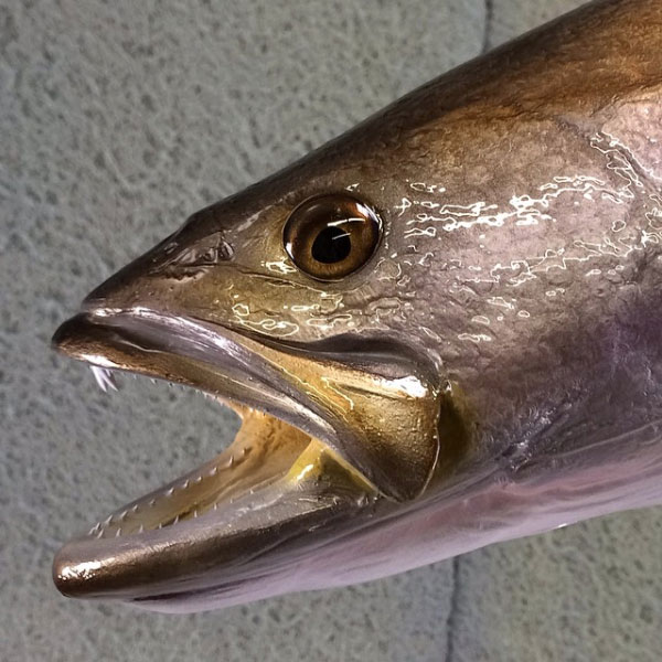 Spotted Seatrout Taxidermy