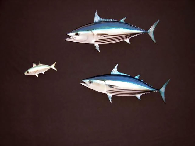 Skipjack Tuna Mounts