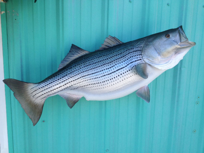 Striped Bass Mount