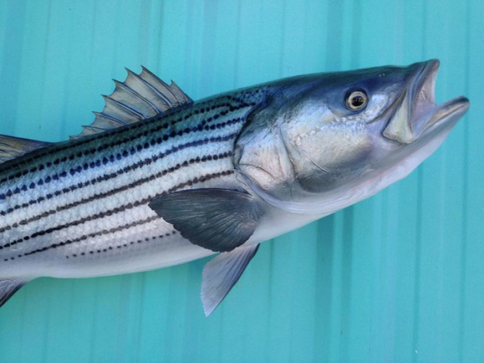Striped Bass Taxidermy