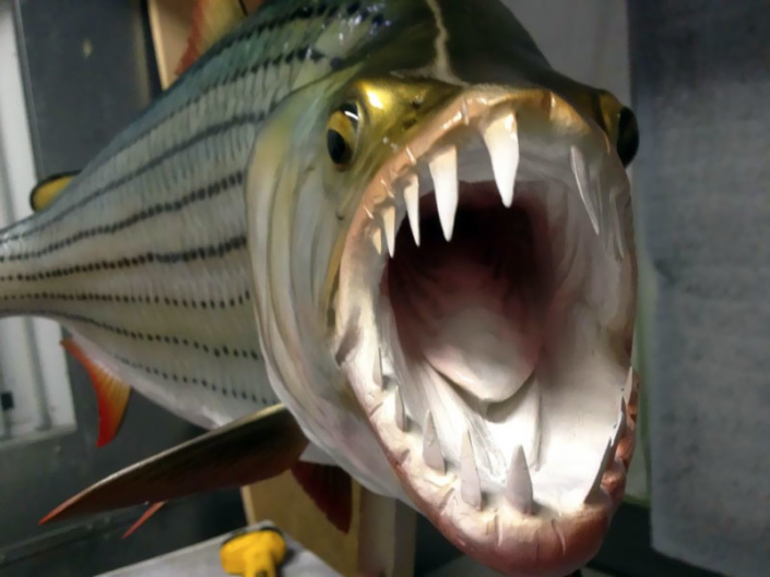 Tigerfish Mount
