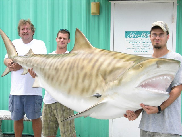 Tiger Shark Taxidermy