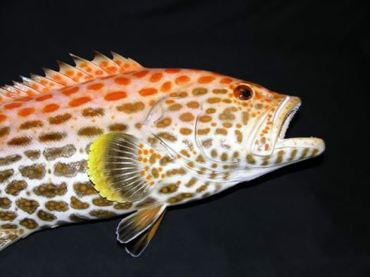 Yellowfin Grouper Taxidermy