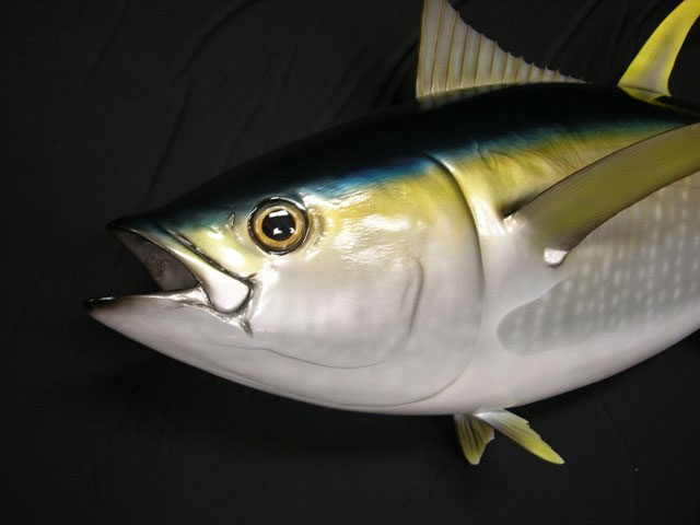 Yellowfin Tuna Taxidermy