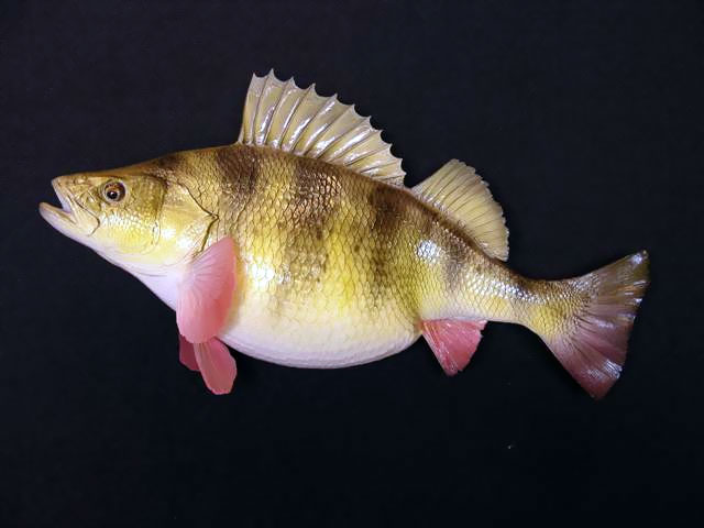 Yellow Perch Mounts