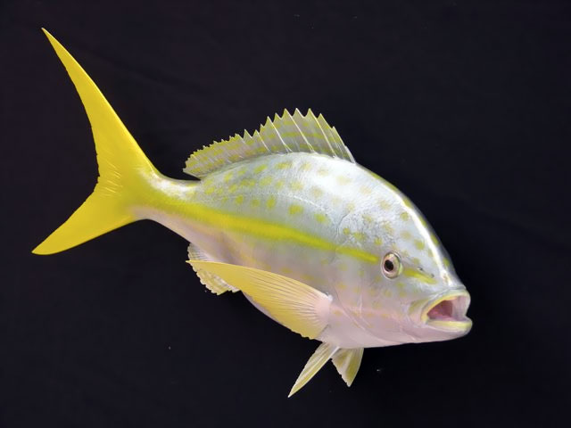 Yellowtail Snapper Taxidermy